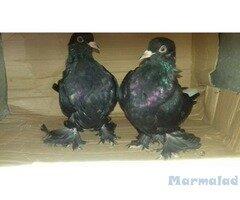 Продавам гълъби Мардини
