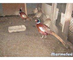 Яйца от фазан
