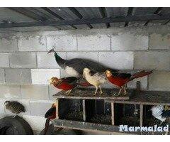 Пауни и фазани