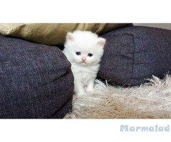 Британски котенца бели и сиви