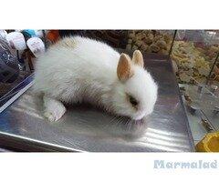 Продавам декоративни мини зайчета