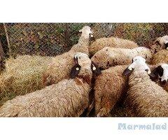 Продавам Овце, Агнета, Кочове