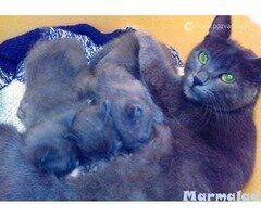 Руска синя котка търси партньор