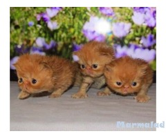 Персийски котета - малки лъвчета