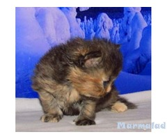 Персийско коте - момиче