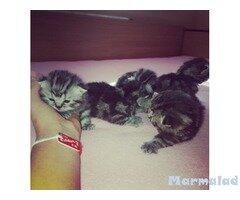 Продавам котета Мраморно Таби