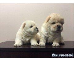 Продавам малко кученце Чау чау