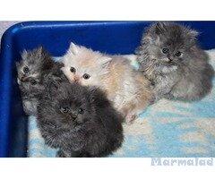 Продавам персийски котета
