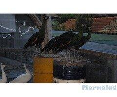 Продавам пауни, фазани и водоплаващи птици