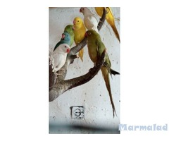 Малък Александър папагал