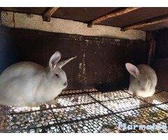 Калифорнийски зайци